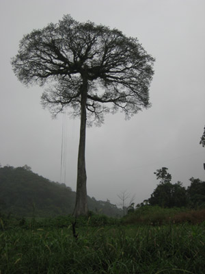 Tree in Mexico